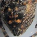 Giant Lichen Orbweaver - Araneus bicentenarius - female