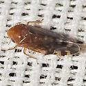 Leafhopper - Xestocephalus provancheri