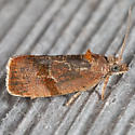 Spirea Leaftier Moth - Evora hemidesma