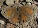 Butterfly - Megisto rubricata