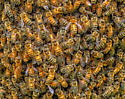 Bee swarm - Apis mellifera