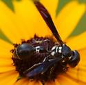 Zethus spinipes? - Zethus spinipes