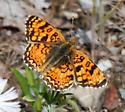 Butterfly - Phyciodes pallida