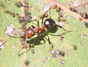 formacine ant - Formica exsectoides