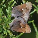 Henry's Elfin - Callophrys henrici - male - female