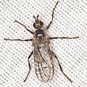 Acalyptratae Fly - Boreothrinax maculipennis