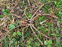 Heteropoda venatoria - male