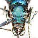 Cicindela scutellaris rugata Vaurie - Cicindela scutellaris