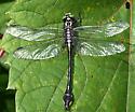 Cobra Clubtail - Gomphurus vastus - male