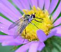 bee fly maybe in genus Geron - Geron