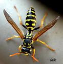 Paper Wasp? - Polistes dominula