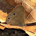 Caroline Satyr - Hermeuptychia sosybius