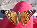 Hackberry Emperor - Asterocampa celtis - male