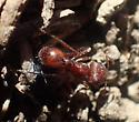 Red ant  - Pogonomyrmex