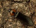 Click Beetle - Hypoganus rotundicollis