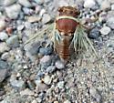 Apache cicada - Diceroprocta apache