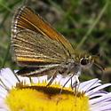 Garita Skipperling Also Known As Western Skipperling - Oarisma garita