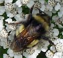 bombus terricola (Yellow-banded bumblebee) - Bombus terricola