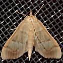 Herbivorous Pleuroptya Moth?