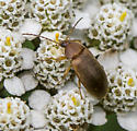 Beetle ID request - Isomira sericea