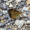 Butterfly ID needed - Phyciodes tharos