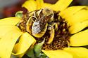 Sunflower Bee - Diadasia enavata - male