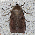 Grote's Satyr Moth - Hodges#11051 - Ufeus satyricus