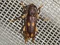 Ash and Privet Borer - Tylonotus bimaculatus