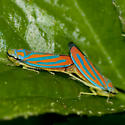 Red-banded Leafhoppers - Graphocephala coccinea - male - female