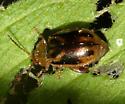 Leaf Beetle - Capraita