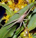 long thin spider - Tibellus maritimus - female