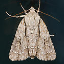 Speared Dagger Moth - Hodges#9229 - Acronicta hasta
