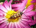 Flower longhorn, possibly Typocerus deceptus? - Typocerus deceptus