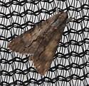 Unknown Moth - Melipotis acontioides