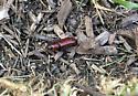 Red beetle, please ID - Neandra brunnea