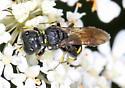 Bee or Wasp - Ectemnius