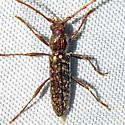Longhorned Beetle - Anelaphus pumilus - male