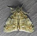 8316 – Orgyia leucostigma – White-marked Tussock - Orgyia leucostigma