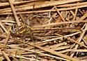 Cypress Clubtail - Phanogomphus minutus - female