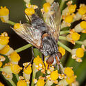 Tachinid Fly? - Chetogena