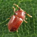 Anobiid - Tricorynus punctatus