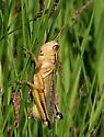 Short-horned Grasshoppers (Acrididae) - Melanoplus bivittatus - male