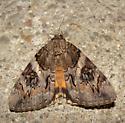 Underwing ssp. - Catocala piatrix