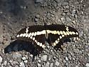 Papilionidae - Papilio cresphontes