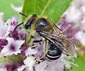 bee - Colletes - female