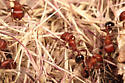 Pogonomyrmex bicolor workers among debris (chaff)  from previously harvested grass, near nest entrance. - Pogonomyrmex bicolor