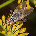 Fly for ID. - Wohlfahrtia vigil - female