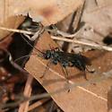 Spider Wasp - Priocnemis minorata