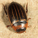 Rhantus sp.? - Hydaticus aruspex