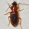 Stenolophus dissimilis